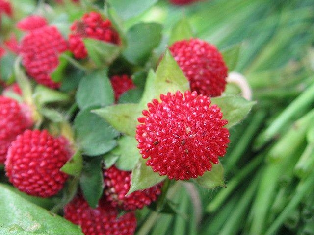 Fun88蛇莓